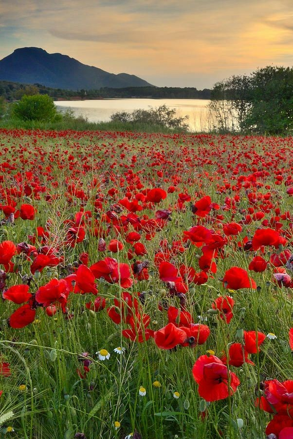 """""""Poppies on the Wheat,"""" a poem by Helen Hunt Jackson"""