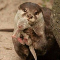 Mummy Otter asks for your help to keep her baby Otter safe🍀🍀 yes, humans are the Guardian of the Earth. Will you help the Mummy Otters? 💥💥💥💥💥