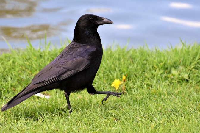 New Experiment Reveals Just How Disturbingly Clever Crows Really Are  PLANTS AND ANIMALS